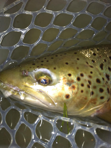 Hex emergers or spinners bring some of the biggest trout of the year up to the surface.