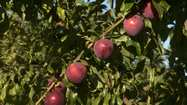 Market Watch: Plum-cherry hybrids find a sweet spot