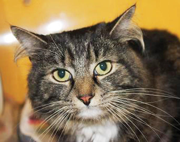 Blanche, a Maine Coon mix, is in need of a new home.