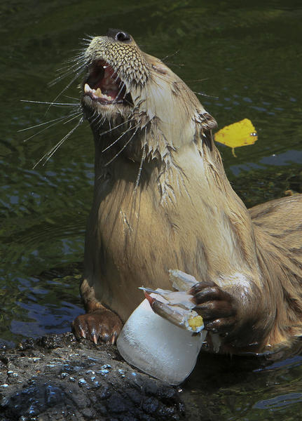 An otter enjoys a frozen fish treat in his exhibit at the Virginia Living Museum on Friday. Animal keepers deliver frozen snacks to otters, racoons, wolves and a coyote when the weather is warm.