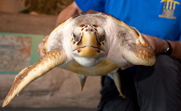 "M.J., a 21-month-old Loggerhead sea turtle, will soon be released into the ocean by the Museum of Discovery and Science (MODS). The museum hosts summer ""Sea Turtle Walks"" that teach participants about turtles (land, fresh water and salt water) followed by a tour along Fort Lauderdale beach where museum guides lead guests to the turtle's nesting grounds to look for sea turtles. For more information, call 954-713-0930. To see more photos from Society Scene's Broward edition, visit www.Facebook.com/SocietyScene."