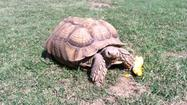 Giant Kiowa County tortoise found safe