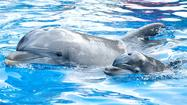 Picture it: Baby dolphin born at SeaWorld Orlando