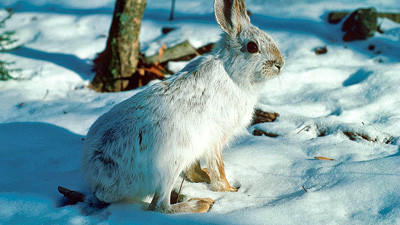 Although it changes coats from summer to winter and is also known as the varying hare, the snowshoe hare has maintained much of its range during the past century in Pennsylvania. Snowshoe hares are indigenous to Pennsylvania. They're found in the state's northern tier and Allegheny Mountains.