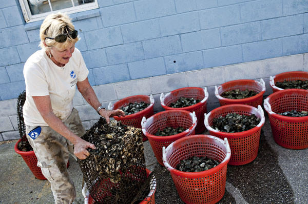 Bonnie Kersta, a volunteer of Chesapeake Bay Foundation, works on putting oysters into a bucket.