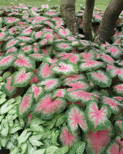Caladium 'Rosebud' - so gorgeous, so lush.