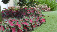 "Caladium 'Florida Cardinal' has an especially elegant look with medium sized (6"" to 15"") bright wine-red leaves edged in dark green."