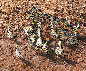 Butterflies like to puddle in wet soil.