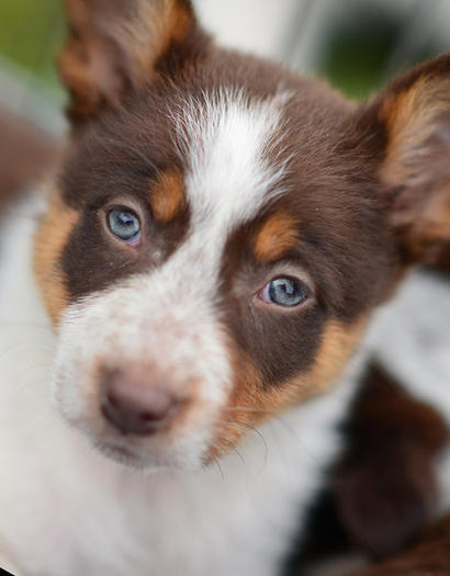 A red and white collie puppy sheepdog