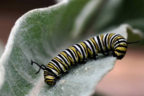 A monarch butterfly caterpillar sits on a milkweed plant at the home of David Snow in Thousand Oaks.