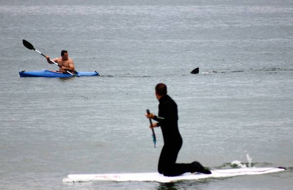 Walter Szulc Jr., in a kayak, looks back at the fin of an approaching shark at Nauset Beach in Orleans, Mass., in Cape Cod on Saturday.