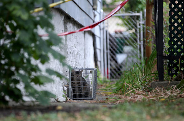 A trapped cat sits in a cage at a home in the 3100 block of South East Avenue, in Berwyn, on Tuesday morning. Authorities removed 33 cats and three dogs from the home yesterday.