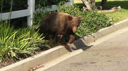 DUARTE, Calif. (KTLA) -- Officials have captured a bear believed to be the same one seen roaming around a Duarte neighborhood over the past week.