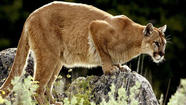 The 140-pound mountain lion who wandered all the way from South Dakota to die on the Wilbur Cross Parkway in Milford 12 months ago was a once-in-a-lifetime phenomenon in Connecticut, if you believe the wildlife experts.