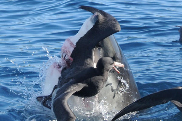 A great white shark snatches a bird out of the air near Neptune Islands, Australia. Australia has the highest total number of unprovoked great white shark attacks and fatalities from 1876 to 2008. According to researchers, the continent had 126 total attacks in that time period and 50 of those were fatal.