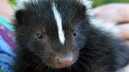 PICTURES: In The Burbs: Name that Skunk
