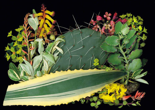 Ken Druse's suggested plant combinations for a Southwest garden include this lineup that delivers winter blooms. The palette includes, clockwise starting with the long, horizontal serrated leaf: the blade-like foliage of <i>Agave americana</i> (specifically, a cultivar called Variegata); the leafy green foliage of <i>Citrofortunella mitis</i> (the cultivar Variegata); the chartreuse flowers of <i>Euphorbia rigida</i>; an orange-tinged aloe called Blue Elf; <i>Lachenalia aloides</i>, with yellow bell-shaped flowers; the spiked cactus <i>Opuntia engelmannii</i>; the pink-flowered <i>Bryophyllum daigremontianum</i>; and the yellow-flowered <i>Cassia didymobotrya</i>.