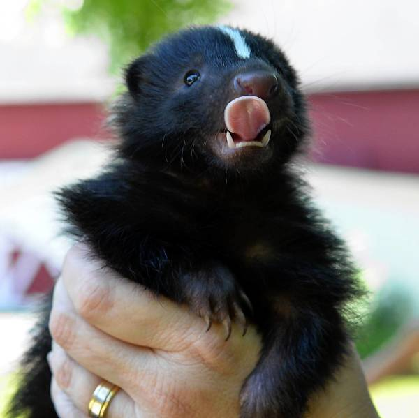 The Wildlands Conservancy is having a contest to name its pet skunk.
