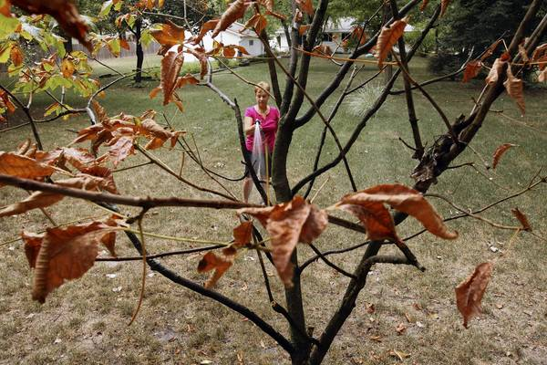 Peg Soldan, a member of the Mokena Garden Club, waters her dying flowers and trees Tuesday in the backyard of her Mokena home.