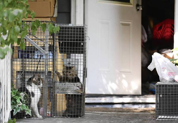 Cats that were caught Tuesday inside a house in the 3100 block of South East Avenue in Berwyn will be taken to Cicero's animal shelter to be examined by a veterinarian. The residents of the house are apparent hoarders, officials said.