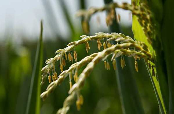 Pollen hangs from the tassels of a corn plant in a field in Idaville, Ind. The USDA is forecasting a smaller yield than previously expected.