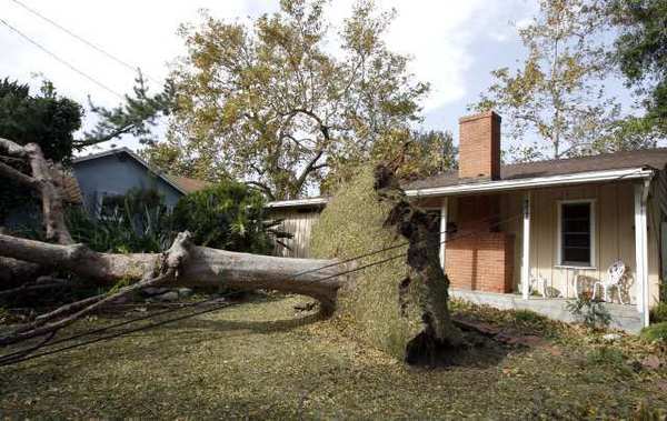 This large tree fell on an SUV art 625 Houseman St. in La Canada Flintridge during last year's powerful windstorm.
