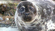 CHULA VISTA, Calif. -- The California Coastal Commission voted unanimously Wednesday to keep a rope barrier designed to protect harbor seals up full-time at the Children's Pool in La Jolla.