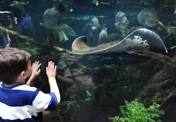Liam White, 6, of Waldorf is captivated by a large stingray in the Australian exhibit at the National Aquarium in Baltimore.