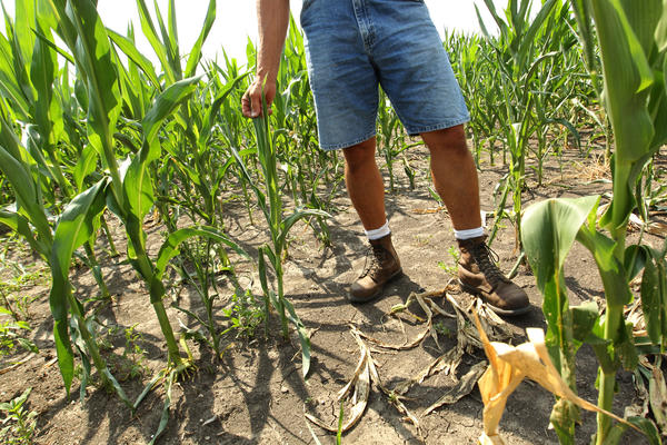 Farmer Dave Kestel checks out the progress of a corn field affected by the heat and lack of rain. Stunted stalks and curling leaves are signs of stress in a Manhattan cornfield. One-third of Illinois corn crops is rated in poor to very poor condition, federal agriculture officials say.