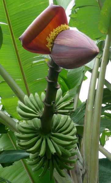 The Pahang banana -- good for research but not so good for eating because its fruits are full of seeds. Scientists have sequenced its genome. It will help them in their banana biotech and breeding efforts going forward.