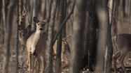 Will County Forest Preserve sharpshooters won't be hunting deer at Messenger Woods or Messenger Marsh in the Homer Glen area this winter, according to a preliminary report on the district's deer culling program.