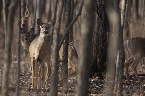Deer explore the forest at McKinley Woods Forest Preserve. Homer Glen will likely avoid a winter deer culling program this year, according to village officials.