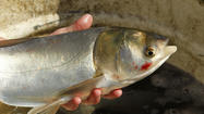 Asian carp could thrive in all five Great Lakes if even a small number of the invasive species made it into the basin, according to a scientific report released Thursday.