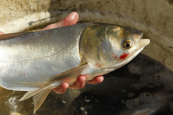 asian carp in st clair river