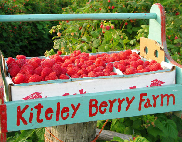 Kiteley Farms in Charlevoix features U-pick raspberries. While the summer season will be short, fall raspberries should be in season from mid-August into the fall.