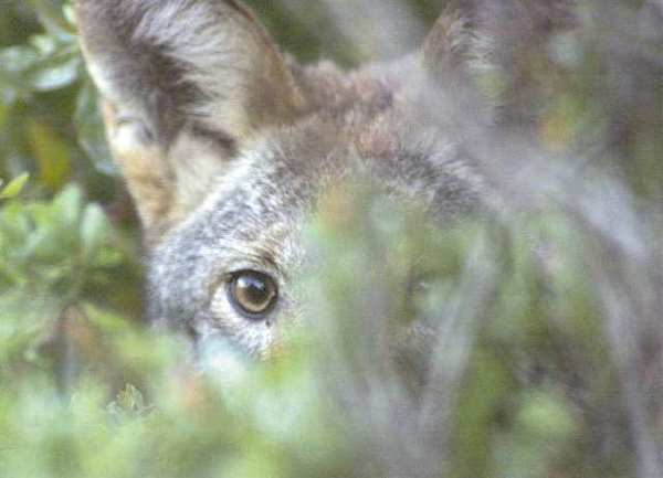 A resident coyote peers out of the canyon brush, looking for lunch.