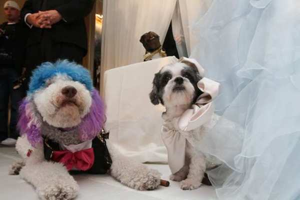 "Chilly Pasternak, left, a poodle from Richmond, Va., and Baby Hope Diamond, a Coton de Tulear from New York, pose for portraits after their ""wedding"" Thursday."