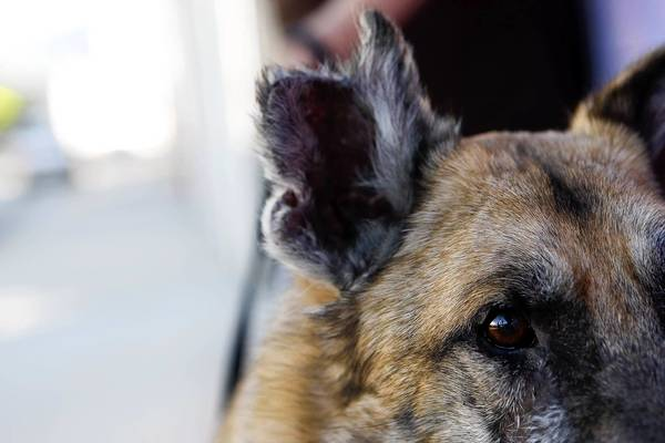 Rambo was abused but was given a new lease on life by the German Shepherd Rescue in Burbank.