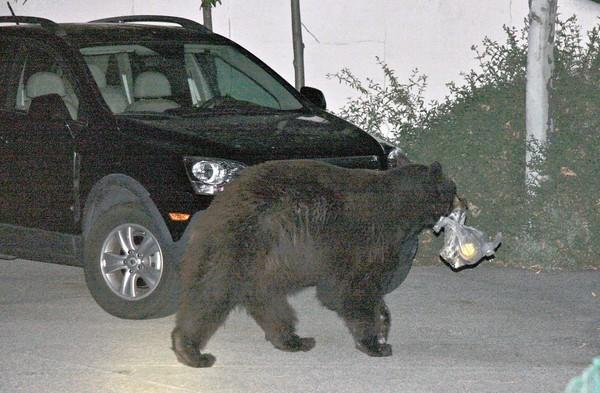 La Crescenta resident Tim MacDonald photographed the animal known as Glen Bearian, with a trash bag between his jaws, back in town about six weeks after Fish and Game authorities thought they'd gotten rid of the creature for good by relocating him about 25 miles away in the Angeles National Forest.