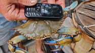 Crabbers go digital to report their catch