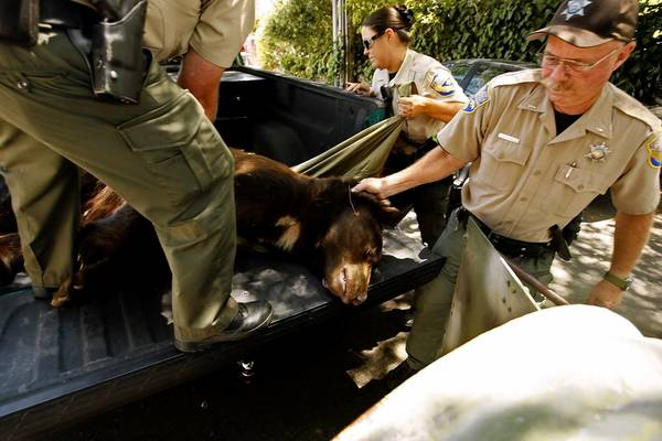 "California Department of Fish and Game wardens move a tranquilized bear, nicknamed ""Glen Bearian"" and ""Meatball,"" into a cylindrical trap for his trip from Glendale to the Angeles National Forest."
