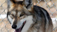 Mexican gray wolves form 2 new packs in American Southwest