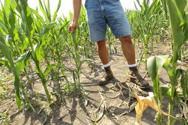 Farmer Dave Kestel checks the progress of a corn field battered by the heat and a lack of rain in Manhattan, Ill.