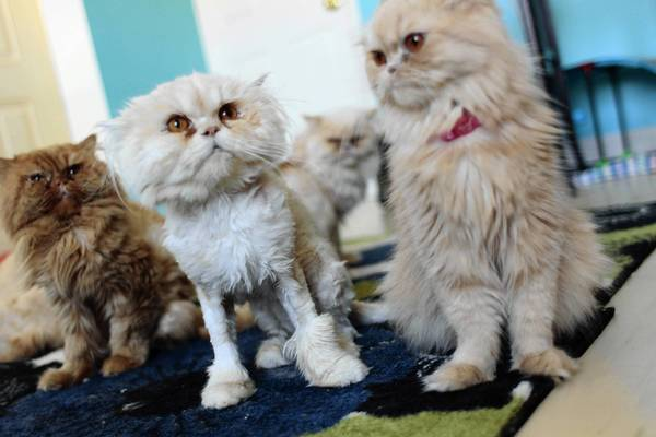 """Carlton,"" second from left, one of the Persian <a class=""taxInlineTagLink"" id=""T50023002"" title=""Cat (animal)"" href=""/topic/science-technology/science/zoology/cat-%28animal%29-T50023002.topic"">cats</a> rescued in June from a Highland Park home, finds a safe haven at Tails of Hope, a no-kill shelter in Highland Park, with other abused cats from the home. The cats were among 20 taken in a neglected state in June from the Highland Park home of Jorjic and Agnes Badalpour."