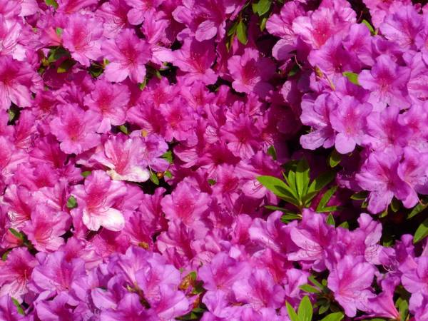 Norfolk Botanical Garden is home to thousands of azalea plants