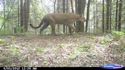 Michigan Wildlife Conservancy released this shot, captured in June, from a southern Marquette County trail camera.