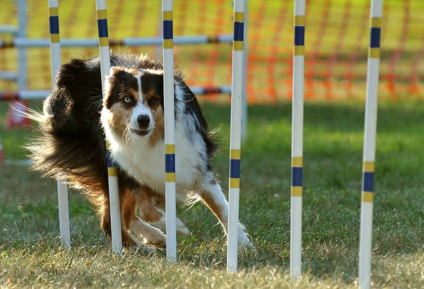 Hunter, 3, an Australian Sheep dog, handled by Kim Yost, of Coplay, not shown speeds thru weave poles on a standard dog agility coarse held on Day 3 of SportsFest at Cedar Beach Park on Saturday, July 16, 2011.
