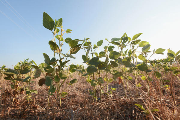 Soybean plants struggle to survive in a drought-stricken farm field near Uniontown, Ky. Soybean futures have soared to record prices.