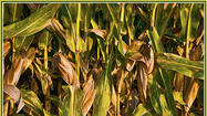USDA: Rain too late for most of Indiana's corn