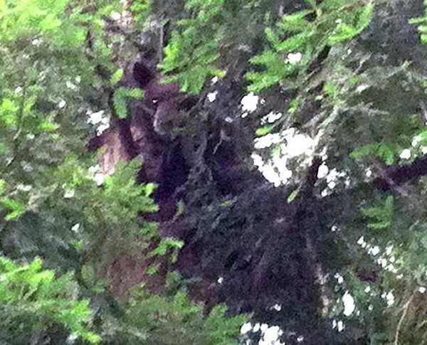 A bear has twice appeared in La Canada Flintridge in the last couple of weeks. The first time was in June, when he climbed a backyard tree.